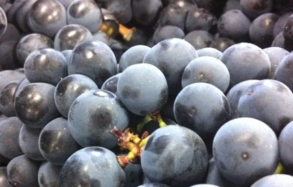 Jornada de vendimia en Rioja Alavesa