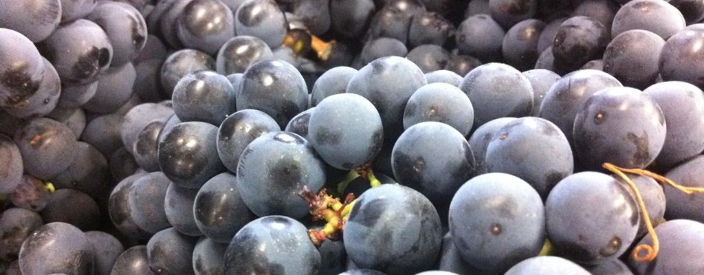 Vendimia en Rioja Alavesa y rioja alta
