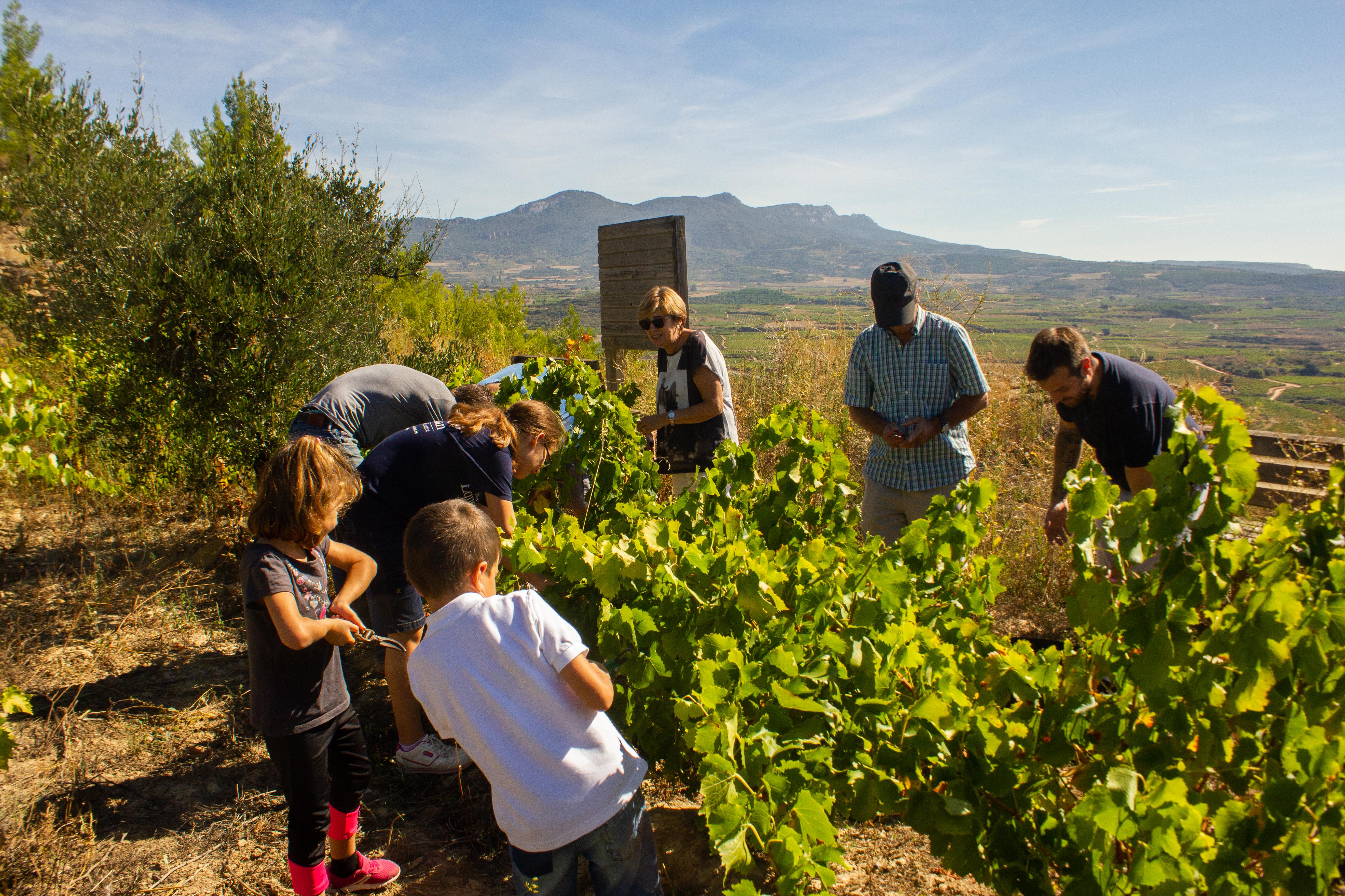 Un grupo de gente de todas las edades recogiendo las uvas del viñedo en un día soleado