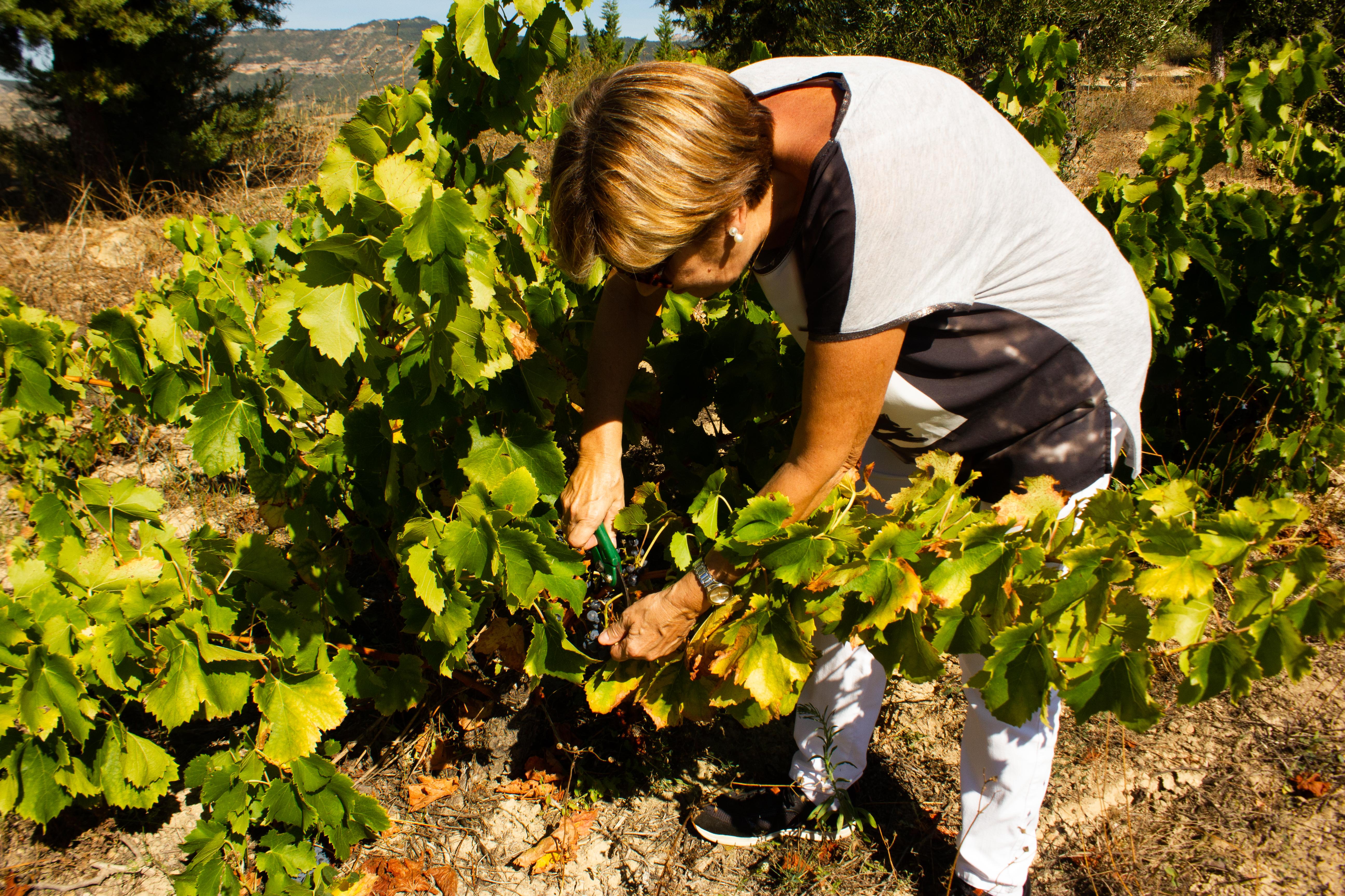 Una mujer corta racimos de uva de una viñedo
